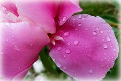 Verdwaald bloemblaadje in de regen Royalty-vrije Stock Afbeeldingen