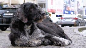 Verdwaald Shaggy Dog ligt op een Stadsstraat tegen de Achtergrond van het Overgaan van Auto's en Mensen stock video