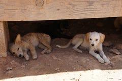 Verdwaalde beige puppy die van de zon beschutten Stock Afbeelding