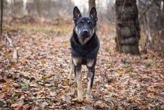 Verdwaalde grote hond Stock Foto