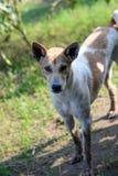 Verdwaalde grote hond in het de herfstbos, de hond van het land Stock Afbeeldingen