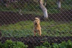 Verdwaalde hond achter de omheining Royalty-vrije Stock Fotografie