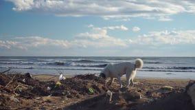 Verdwaalde hond die door huisvuilhoop op strand dichtbij overzees doorzoeken stock videobeelden