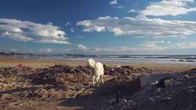 Verdwaalde hond die door huisvuilhoop op strand dichtbij overzees doorzoeken stock video