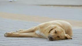 Verdwaalde hond die en langzame geanimeerde video slapen liggen stock footage