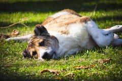 Verdwaalde hond die op het gras rusten Royalty-vrije Stock Fotografie