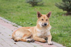 Verdwaalde hond die op het voetpad liggen Royalty-vrije Stock Fotografie