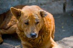 Verdwaalde hond in slechte gezondheid royalty-vrije stock afbeelding