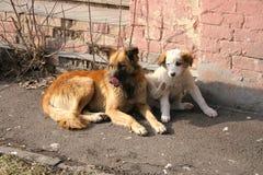 Verdwaalde honden stock foto