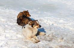 Verdwaalde honden die op de sneeuw rusten Stock Afbeeldingen