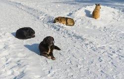 Verdwaalde honden die op een sneeuw bij de winterstraat liggen Royalty-vrije Stock Afbeeldingen