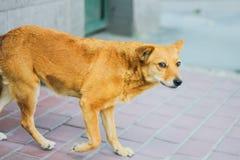 Verdwaalde honden op droevige straat Stock Afbeeldingen