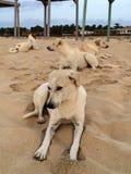 Verdwaalde honden op het strand Cabo Verde ilha do sal Stock Afbeelding