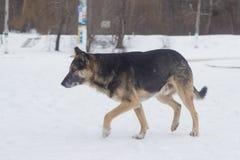 Verdwaalde honden op straatgang Royalty-vrije Stock Afbeeldingen