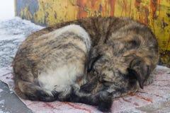 Verdwaalde honden op straatslaap Stock Foto