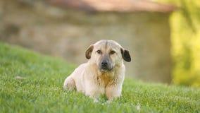 Verdwaalde hondzitting op weide die dan aan camera, liefdadigheidshulp aan dakloos huisdier lopen stock video