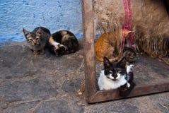Verdwaalde katten in Chefchaouen, Marokko Royalty-vrije Stock Afbeeldingen