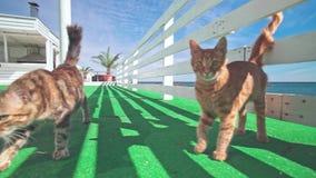 Verdwaalde katten die dichtbij het hotel op zee leven stock videobeelden