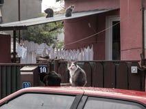 Verdwaalde Katten Macedonië Stock Foto's