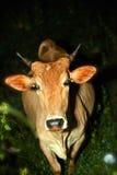 Verdwaalde koe of een nachtverrassing Stock Foto's