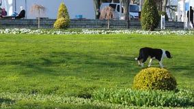 Verdwaalde miserabele hongerige en dorstige hond die alleen in park, dakloos dier lopen stock videobeelden