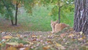 Verdwaalde oranje kattenzitting en het ontspannen dichtbij grote oude boom in de stadspark van Odessa in de Oekraïne op een de zo stock videobeelden