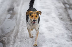 Verdwaalde vrouwelijke honden die die op een landweg lopen met smeltende sneeuw bij de winterdag wordt behandeld Stock Foto's