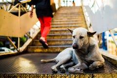 Verdwaalde witte Thaise hond Royalty-vrije Stock Fotografie