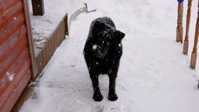 Verdwaalde zwarte de sneeuw leuke en grappige draaien van de hondwinter zijn hoofd die de camera bekijken stock video