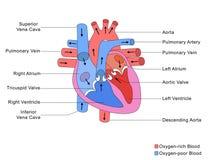 Vereinfachte Struktur des Herzens Stockbilder