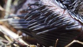 Veren die van onlangs grootgebrachte vogels op nest slapen stock footage