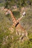 Verengungsgiraffen lizenzfreies stockfoto