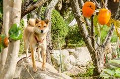 Verfolgen Sie Akita-Hund oder Akita-inu im Hausgarten Stockbild