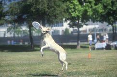 Verfolgen Sie anziehendes Frisbeemitten in der luft im Hunde- Frisbee-Wettbewerb, Westwood, Los Angeles, CA stockbilder