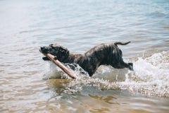 Verfolgen Sie Betrieb auf dem Strand mit einem Stock Amerikanischer Staffordshire-Terrier lizenzfreie stockfotos