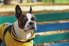 Verfolgen Sie Boston-Terrier in der gelben Strickjacke, die auf Bank sitzt stockbilder