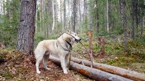 Verfolgen Sie das Halten eines Stockes in seinem Mund im Wald auf dem Hintergrund stock video