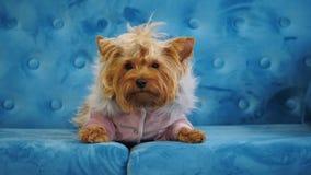 Verfolgen Sie das Lügen auf einer blauen Couch, Yorkshire Terrier stock video footage