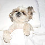 Verfolgen Sie das Schlafen auf einem Kissen im Bett unter den Abdeckungen Lizenzfreie Stockfotografie