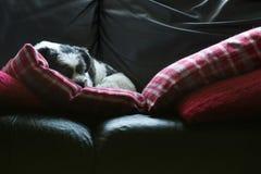 Verfolgen Sie das Schlafen auf Sofa, nette entzückende Lhasa Apso stockbild