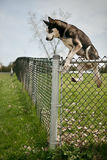 Verfolgen Sie das Springen über einen Hundeparkzaun im Freien Stockfoto