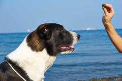 Verfolgen Sie das Suchen des Lebensmittelstockes nach Hund in der Frauenhand Lizenzfreie Stockfotografie