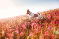 Verfolgen Sie in den Blumen Jack Russell Terrier Stockfoto