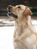 Verfolgen Sie den Brut-Labrador-Apportierhund, der in weißem BAC getrennt wird Lizenzfreies Stockbild