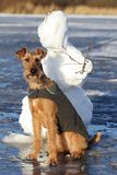 Verfolgen Sie den irischen Terrier auf einem Weg lizenzfreies stockbild