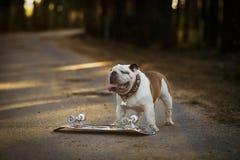 Verfolgen Sie englische Bulldogge mit Skateboard auf der Straße Stockbilder