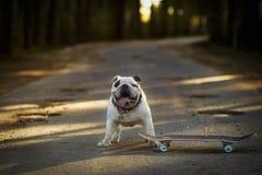 Verfolgen Sie englische Bulldogge mit Skateboard auf der Straße Lizenzfreies Stockfoto