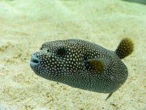 Verfolgen Sie gegenübergestellte Puffer-Fische Stockfoto