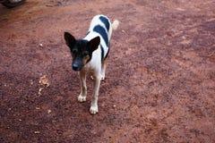 Verfolgen Sie Gesicht, weißen Hund, Fotografie-Porträt-thailändischer Hund, den es auf stree ist lizenzfreies stockbild