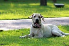 Verfolgen Sie Labrador-æ ‹‰ å¸ƒæ ‹‰ 多犬 è  ‰ 地 stockfotografie